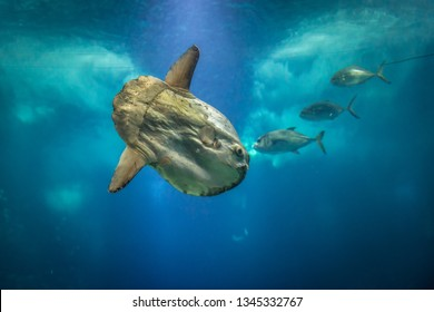 Ocean sunfish also knowna as mola fish swimming in water