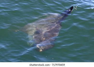 ocean sunfish, Mola mola, Cape Point, South Africa, Atlantic Ocean