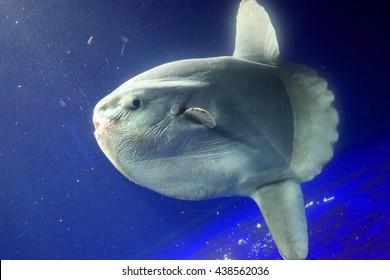 Ocean sunfish (Mola mola) close up