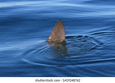 ocean sunfish, Mola mola, False Bay, South Africa, Atlantic Ocean