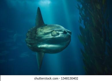 Ocean sunfish (Mola mola), also known as the common mola.