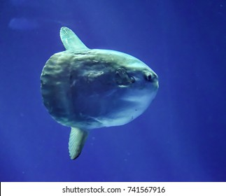 The ocean sunfish (Mola mola) is the largest bony fish in the world, weighing as much as 1000 kg.  They live in tropical and temperate waters around the globe.