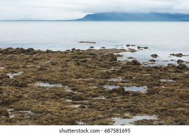 Ocean View in Reykjavik, Iceland with Brown Seaweed, Rocks, Clouds, and Blue Mountains