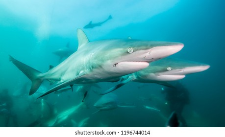 Oceanic black tip sharks during a baited shark dive at Aliwal Shoal, South Africa.