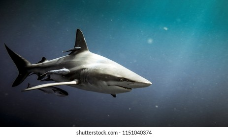 Oceanic blacktip shark (Carcharhinus limbatus) and remora fish underwater in Natal, South Africa