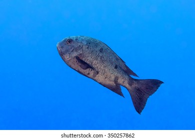 Oceanic colorful red grouper on the reef background