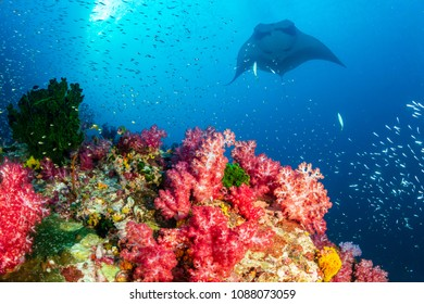 Oceanic Manta Ray swimming over a colorful, healthy tropical coral reef