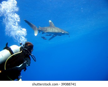 oceanic white tip shark, Carcharinus longimanus, St John's Reef, Red Sea