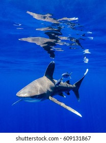Oceanic White Tip Shark and Pilot Fish With Surface Reflections in the Bahamas