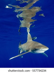An Oceanic White Tip Shark And Surface Reflections at Cat Island in the Bahamas