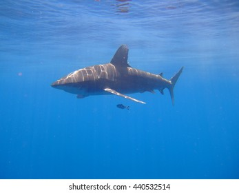 Oceanic Whitetip cruising the waters of St Johns reef system, Red Sea, Egypt