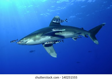 Oceanic white-tip shark (Carcharhinus longimanus)