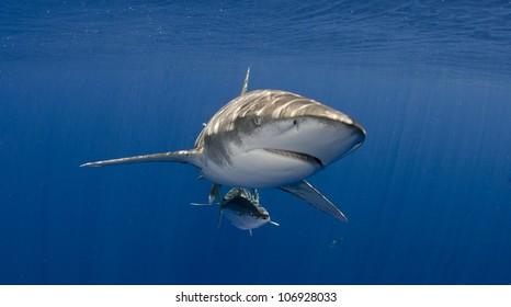Oceanic Whitetip Shark Head On Blue Water