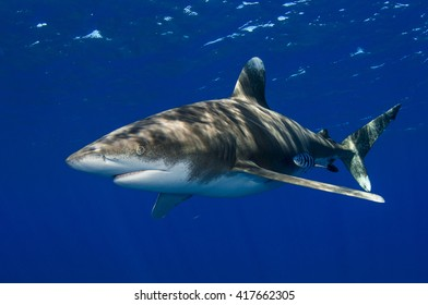 Oceanic Whitetip shark off Cat Island in the Bahamas on a clean blue background.