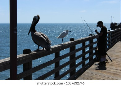 Oceanside, CA / USA - March 29, 2018: A brown pelican and an egret wait for spoils as a fisherman baits his line on the Oceanside Pier