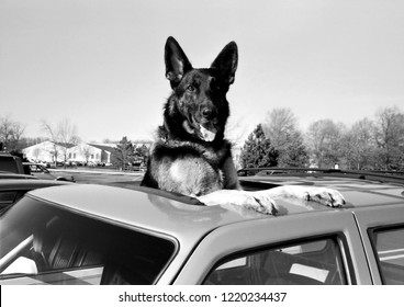 Oceanside, California / USA - June 10, 1997: A German shepherd taking advantage of a car's sunroof to look for his owner in Oceanside, California, on June 10, 1997.