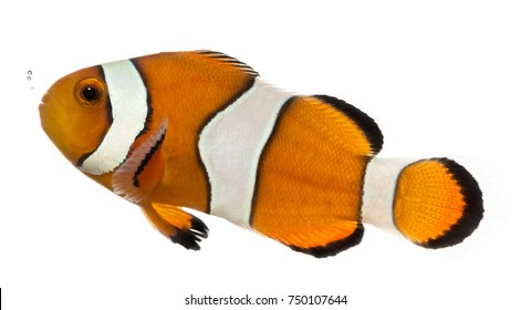 Ocellaris clownfish, Amphiprion ocellaris, isolated on white