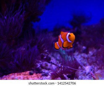 Ocellaris clownfish, Amphiprion ocellaris, also known as the false percula clownfish or common clownfish