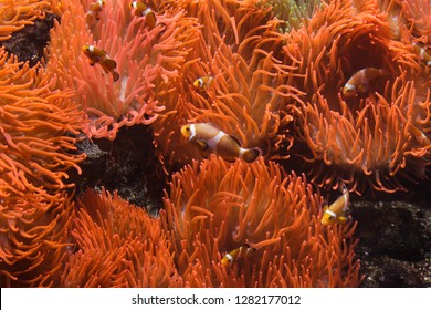 Ocellaris clownfish (Amphiprion ocellaris) swimming in the magnificent sea anemone (Heteractis magnifica).