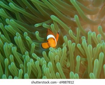 Ocellaris clownfish in anemona
