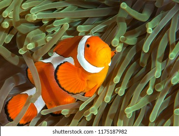 Ocellaris clownfish ( Aphiprion ocellaris ) or false clown anemonefish shelters itself among the venomous tentacles of a magnificent sea anemone ( Heteractis magnifica ), Bali, Indonesia
