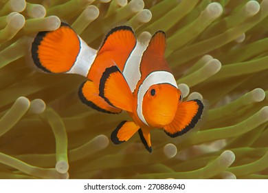Ocellaris clownfish ( Aphiprion ocellaris ) or false clown anemonefish  shelters itself among the venomous tentacles of a magnificent sea anemone ( Heteractis magnifica )