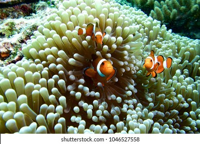 ocellaris clownfish, clown anemonefish, clownfish, false percula clownfish in anemone plant ,swim on plankton stream under deep blue sea of Similan Island