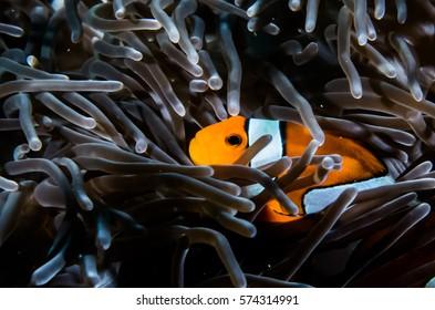 ocellaris clownfish clown anemonefish clownfish false percula clownfish Amphiprion ocellaris animal Underwater Photo  close up small fish  Orange White Similan Thailand