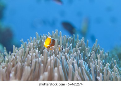 Ocellaris Clownfish, False Clown fish hiding in Anemone Heteractis in the Surin National Marine Park, Thailand.