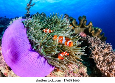 Ocellaris Clownfish on a coral reef