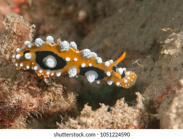 Ocellate phyllidia nudibranch ( Phyllidia ocellata ) crawling on corals of Bali,Indonesia.