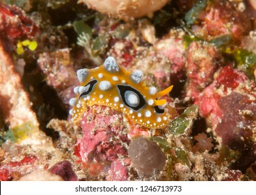 Ocellate phyllidia nudibranch ( Phyllidia ocellata ) crawling on corals of Bali,Indonesia