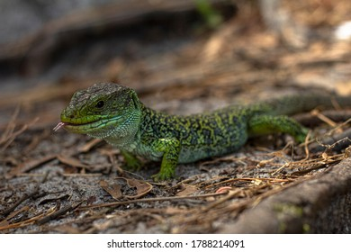 Ocellated lizard in the archipelago of the Cies Islands, Galicia