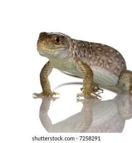 Ocellated lizard in front of a white background