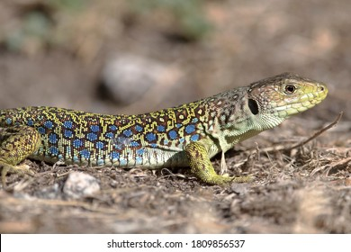 The ocellated lizard or jewelled lizard (Timon lepidus) is a species of lizard in the family Lacertidae  endemic to southwestern Europe. - Shutterstock ID 1809856537