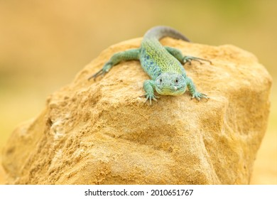 Ocellated lizard or jewelled lizard (Timon lepidus) is a species of lizard in the family Lacertidae (wall lizards). The species is endemic to southwestern Europe.  - Shutterstock ID 2010651767