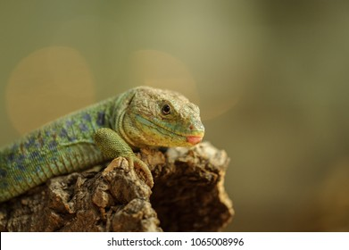 Ocellated lizard from side