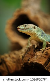 Ocellated lizard standing on tree root