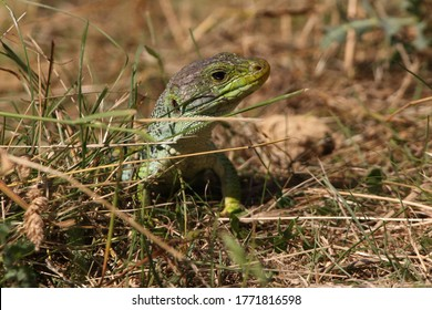 Ocellated lizard in their breeding territory
