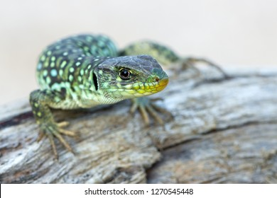 The ocellated lizard - Timon lepidus