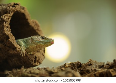 Ocellated lizard in tree hole with sun in background