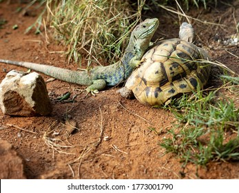 Ocellated lizards, Timon lepidus, is probably the largest European lizard, lying on a turtle