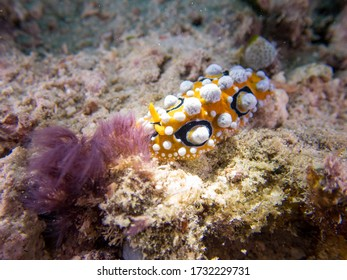 Ocellated Phyllidia nudibranch (Phyllidia ocellata) is a species of sea slug near Derawan Islands, North Kalimantan, Indoneisa.  Leisure and underwater photography.