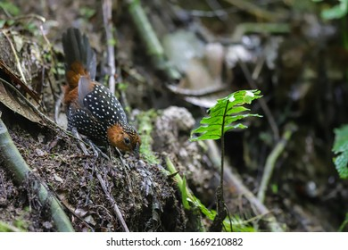 Ocellated tapaculo in the cloud forest of mindo - Shutterstock ID 1669210882