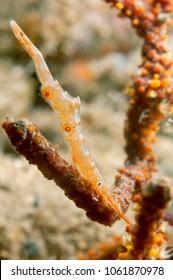 Ocellated tozeuma shrimp (Tozeuma lanceolatum)