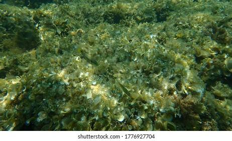 Ocellated wrasse (Symphodus ocellatus), undersea, Mediterranean Sea, Cape of Antibes, France