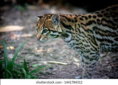 an ocelot in a forest