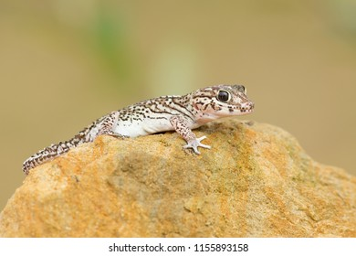 Ocelot gecko (Paroedura pictus) is a nocturnal ground-dwelling gecko found in leaf litter in Madagascar forests, and is also a popular pet. It is sometimes known as the Madagascar ground gecko