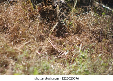 Ocelot hiding in grass while hunting, during the day with the foreground slightly blurred