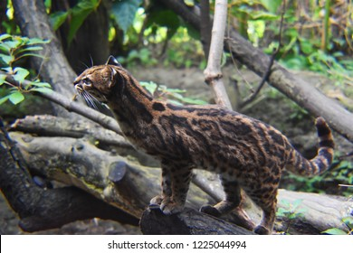 the ocelot in the jungle
